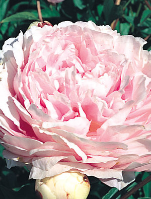 Peony 'Lady Orchid'