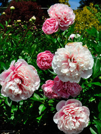 Peony-etched-salmon