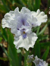 Iris 'Blue Splash'
