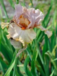 Iris 'Inspired'