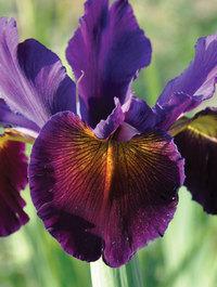 Iris 'Lucky Devil'
