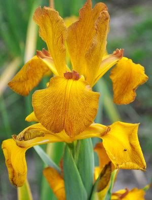 Iris 'Missouri Autumn'