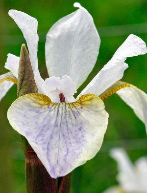 Iris 'Hohe Warte'