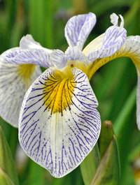 Iris 'Roy's Repeater'
