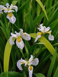 Iris-roys-repeater
