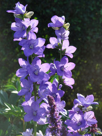 Campanula-latifolia-percy-piper