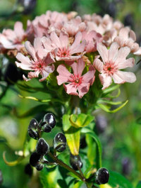 Lychnis chalcedonica 'Carnea'