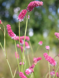 Sanguisorba-pink-brushes