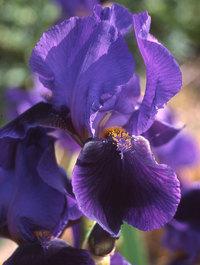 Iris 'Sable'