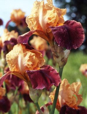 Iris 'Apricot Topping'
