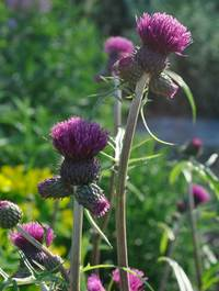 Cirsium rivulare 'Trevor's Felley Find'