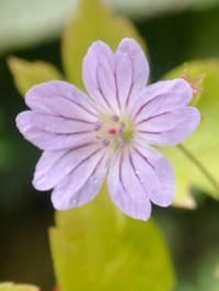 Geranium-nodosum-svelte-lilac