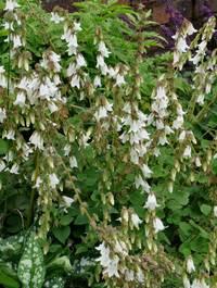 Campanula-alliafolia3