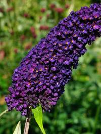 Buddliea-black-knight