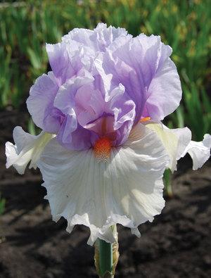 Iris 'Belgian Princess'