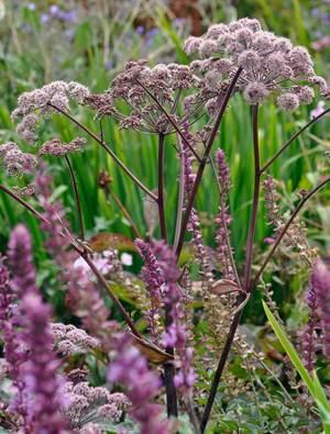 Angelica sylvestris 'Vicar's Mead'