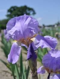 Iris 'Lovely Again'