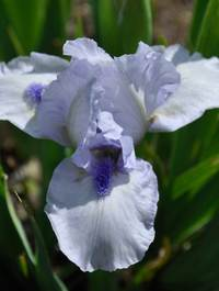 Iris-foreverblue4