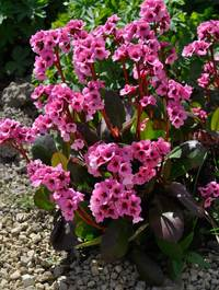 Bergenia-pink-dragonfly11