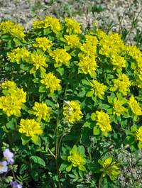 Euphorbia_polychroma