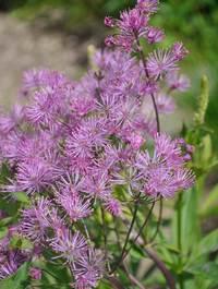Thalictrum-aquilegiifolium3