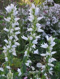 Campanula-latifolia-alba2