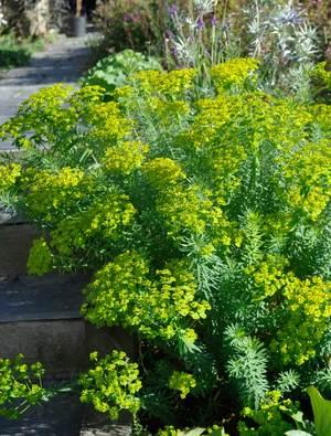 Euphorbia seguieriana niciciana