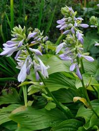 Hosta-honeybells2