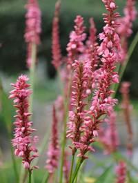 Persicaria amplexicaulis 'High Society'