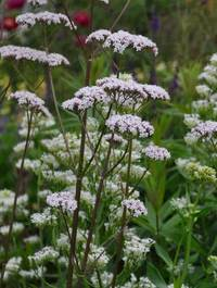 Valeriana-officinalis12