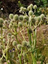 Eryngium-yuccifolium2
