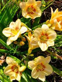 Hemeocallis-custard-candy1