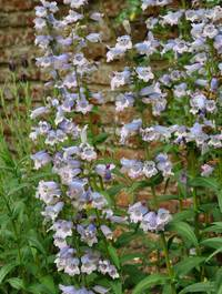 Penstemon-stapleford-gem1