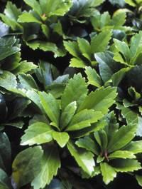 Pachysandra terminalis 'Green Carpet'