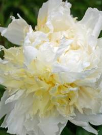 Peony 'Cheddar Cheese'