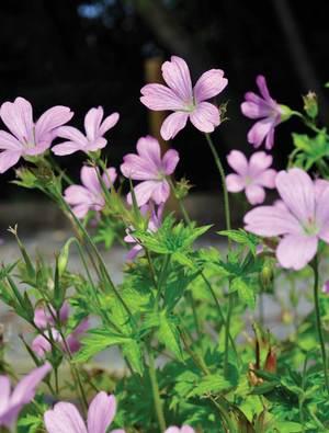 Geranium x oxonianum 'Rose Clair'