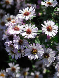 Aster-kylie