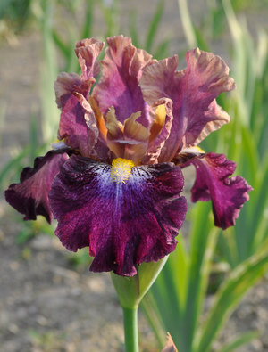 Iris 'Fanciful Whimsy'