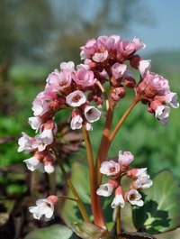 Bergenia-apple-blossom