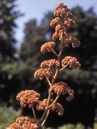 Rodgersia-irish-bronze