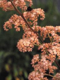 Rodgersia-irish-bronze1