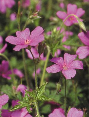 Geranium x oxonianum 'Rosenlicht'