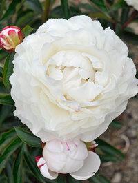 Peony-florence-nicholls4