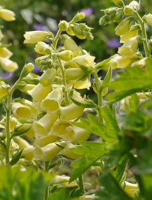 Digitalis grandiflora 'Carillon'