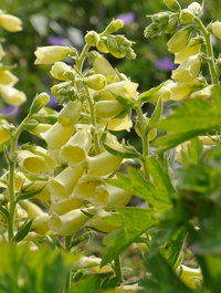 Digitalis-grandiflora-carillon