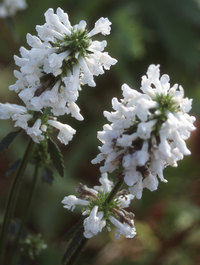 Stachys-officinalis-alba2