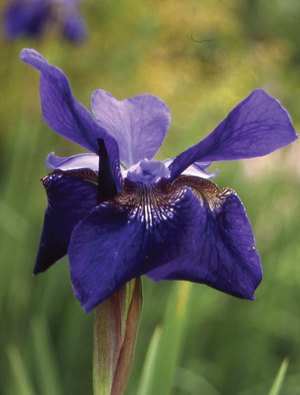 Iris 'Caesar's Brother'