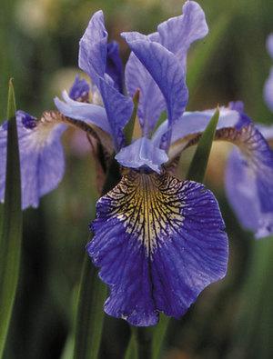 Iris 'Cambridge'