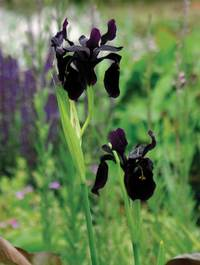 Iris-chrysographes1