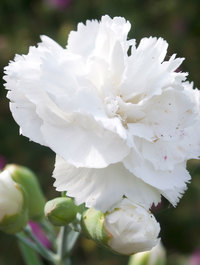 Dianthus-haytor